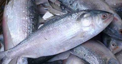 ECNEC approves Tk 2.46b hilsa development project