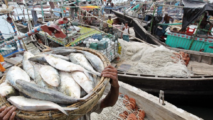 Ban on Hilsa catching from midnight – National – observerbd.com