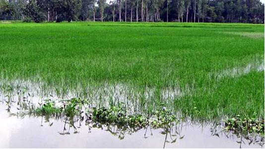 Flood damages Tk 255.73cr crops in Rajshahi division