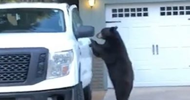 Wild Bear Hops in Driver Seat of Truck and Locks Door, Just Like a Human