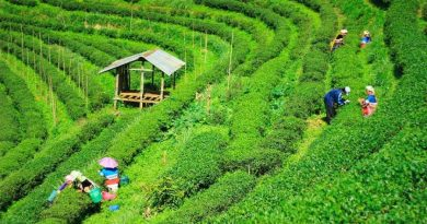 Tea cultivation to be widened on slopes of Garo Hills