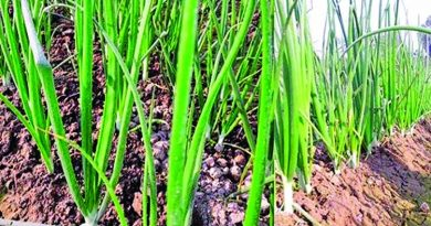 Bumper onion production expected in Rajshahi | The Asian Age Online, Bangladesh