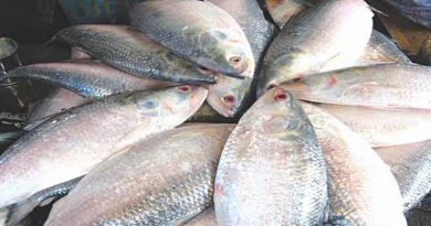 22-day ban on hilsa catching ends tomorrow