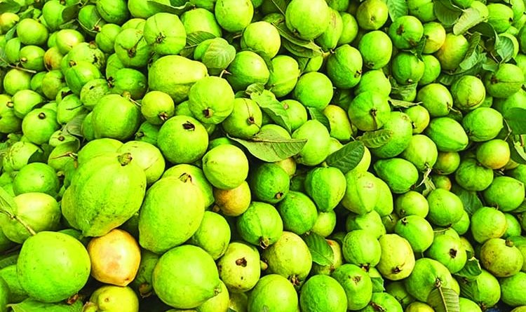 Guava farming becomes boon for many people in Rajshahi | The Asian Age Online, Bangladesh