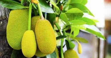 Experts stress jackfruit processing to maintain value | The Asian Age Online, Bangladesh