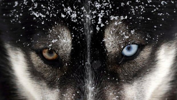 Researchers map DNA from ice-age wolves in bid to trace origin of dogs