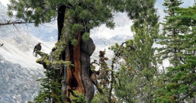 Genetically engineered trees could help fight climate change — here's how