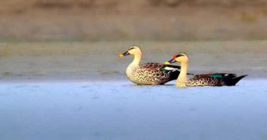 41 bird species spotted in Rajshahi Padma riverbeds