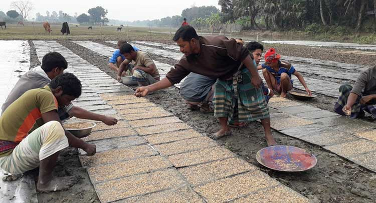 Boro planting by rice transplanters in Rajshahi begins – Countryside – observerbd.com