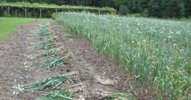 3.89 lakh tonnes garlic yield expected in Rajshahi division