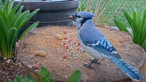 Bird watchers to survey Ontario's feathered population for 3rd Breeding Bird Atlas